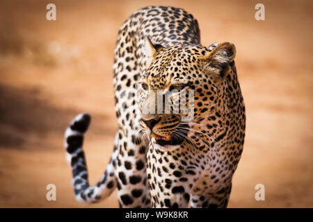Porträt eines Leoparden (Panthera Pardus), Samburu National Reserve, Kenia, Ostafrika, Afrika - Stockfoto