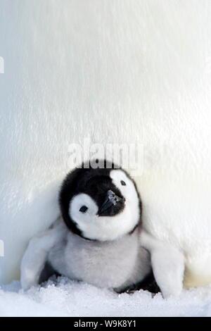 Kaiserpinguin (Aptenodytes Forsteri), Küken, Snow Hill Island, Weddellmeer, Antarktis, Polarregionen - Stockfoto