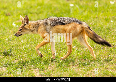Farbe wildlife Portrait von Single black-backed Jackal (Canis mesomelas) auf Patrouille, in Kenia. - Stockfoto