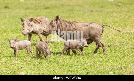 Farbe Wildlife Fotografie der Familie von wilden Warzenschweine wandering einen kenianischen Tiefebene. - Stockfoto