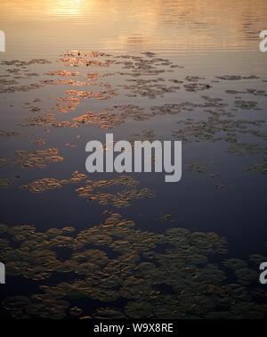Seerose Blätter schwimmen auf einem See im Sunrise Licht - Stockfoto