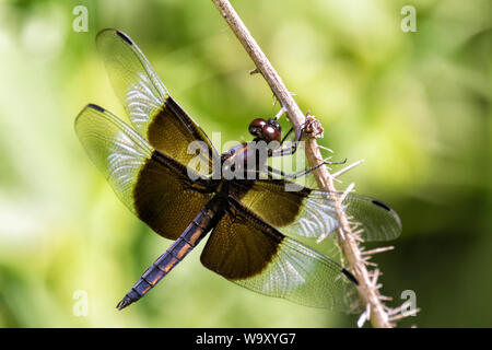 Witwe Skimmer (Libellula luctuosa) Dragonfly in Prairie - Stockfoto