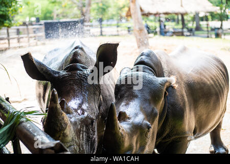 Süße männliche Stier Rhino oder Nashorn. Das Konzept der Tiere im Zoo