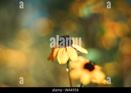 Black-Eyed Susans auf einem Hintergrund. Close Up. - Stockfoto