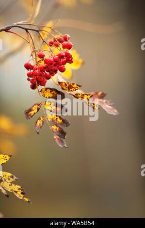 Vogelbeeren hängen in den Zweig im Herbst - Stockfoto