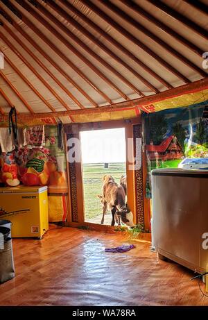 Ein Kalb an der Tür eines Mongolischen Ger - Stockfoto