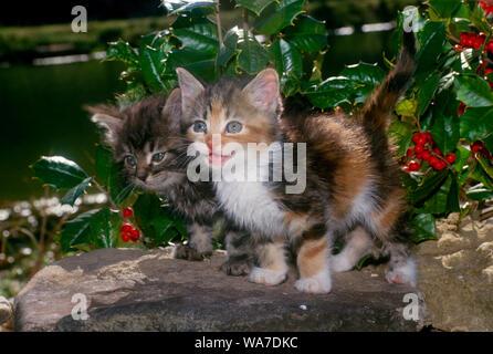 Zwei bezaubernde blauäugige tabby Kitten in einem Garten stand neben holly bush mit roten Beeren, verspielt, Midwest USA - Stockfoto