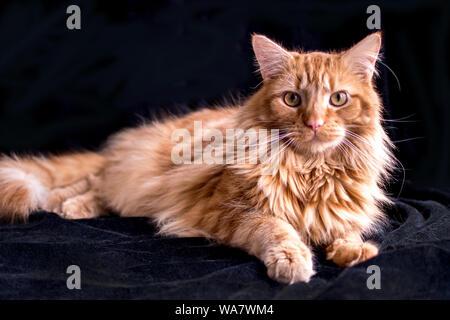 Schöne orange tabby Katze auf einem schwarzen Hintergrund posiert
