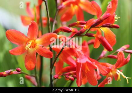 Crocosmia oder Montbretia Pflanze in Blüte mit orangen Blüten - Stockfoto