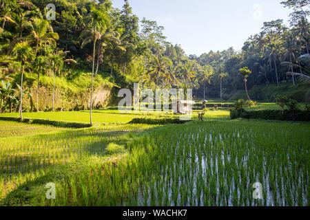 Reisfelder in der Nähe von Ubud in Indonesien - Stockfoto