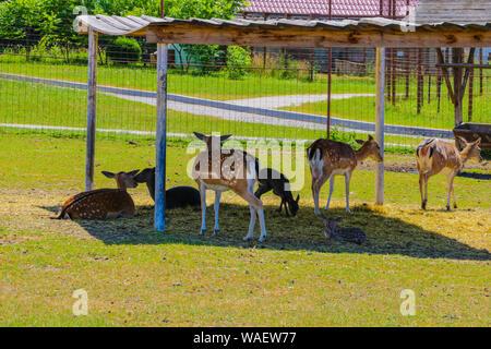 Große Herde von Sika junge Rehe an einem sonnigen Tag in der Natur - Stockfoto