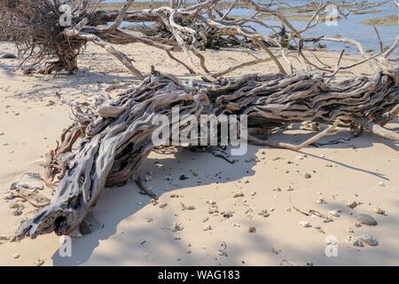 Alten Mangrove Tree Trunk am Strand von Gili Meno Insel. Alter Baum Wurzeln am Strand. Mangrovenwurzeln am Strand. Komplizierte Geflecht der Stämme und Äste - Stockfoto