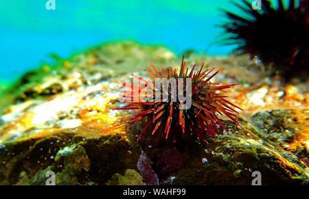 Paracentrotus lividus - bunte Mediterrane Seeigel in Unterwasser Szene - Stockfoto