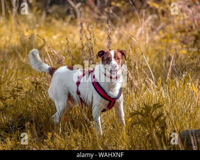 Schönheit mongrel Hund spielen in der herbstlichen Naturpark. - Stockfoto