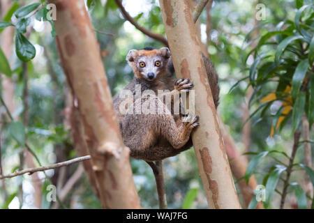 Afrika, Madagaskar, Akanin'ny Nofy finden. Männliche gekrönt (Eulemur lemur Coronatus) mit seinem schwarzen Kappe klammerte sich an einen Baumstamm. - Stockfoto