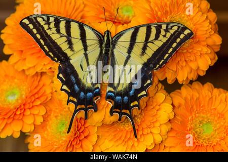Drei-tailed swallowtail Butterfly weiblichen auf orange Gerber daisies - Stockfoto