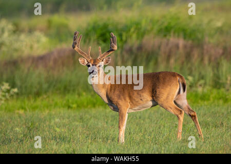 Weißwedelhirsche (Odocoileus virginianus) Buck mit Geweih in Samt. - Stockfoto