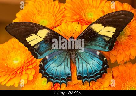 Weibliche Schmetterling (papilio androgeos) aus Peru auf orange Gerber daisies - Stockfoto