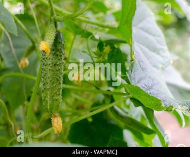 Junge Pflanzen Gurken mit trockenen gelben Blumen. Saftige frische Gurke Nahaufnahme Makro auf einem Hintergrund der Blätter im Garten. - Stockfoto