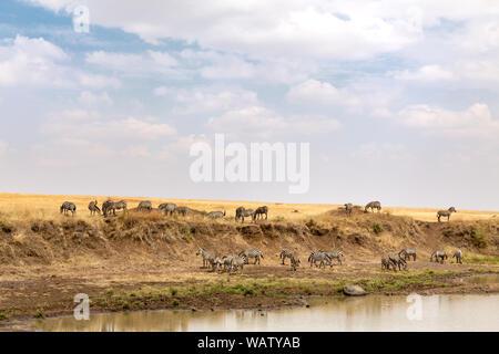 Burchells Zebra am Ufer des Mara River zu grasen und trinken sammeln, am späten Nachmittag Sonnenschein in der Masai Mara, Kenia. - Stockfoto
