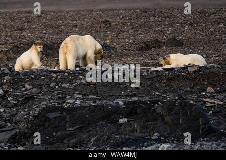 Eisbär (Ursus maritimus) Sommer in Spitzbergen, Svalbard. Mutter und zwei Welpen wal Essen bleibt - Stockfoto