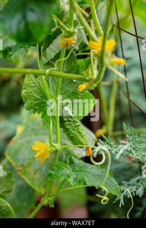 Lange grüne Gurken auf einem Zweig in den Gemüsegarten. Hintergrund. - Stockfoto