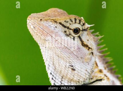 Der Orientalische Garten Echse, Eastern Garden Lizard oder veränderbaren Lizard (Calotes versicolor) - Stockfoto