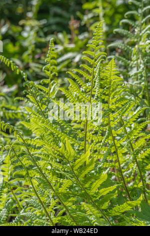 Büschel von Farn Blätter von hellen Sommer Sonne gefangen. - Stockfoto