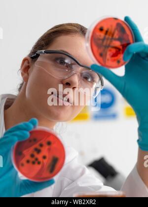 Mikrobiologie Forschung. Wissenschaftler anzeigen Kulturen wachsen in Petrischalen. - Stockfoto