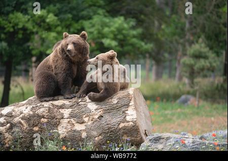 Brauner Bär in einem Wildlife Park unter Frühling Blumen - Stockfoto