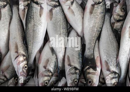 Fangfrisch Wolfsbarsch Fisch in einem Container bereit, Eis zu legen. - Stockfoto