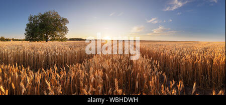 Weizenfeld. Ohren der goldene Weizen hautnah. Wunderschöne Landschaft unter der strahlenden Sonne und blauen Himmel. Hintergrund der reifenden Ähren wiese Weizen f Stockfoto