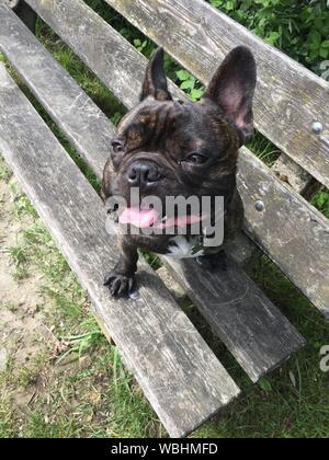 Nahaufnahme der Französische Bulldogge Sitzen am Strand in Feld - Stockfoto
