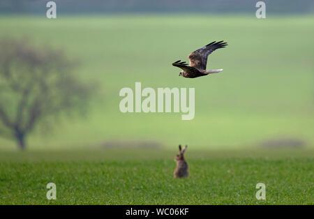 Rohrweihe - Circus aeruginosus fliegt über eine braune Hare-Lepus europaeus. - Stockfoto