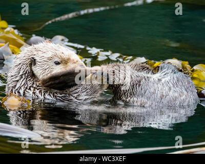 Ein Sea Otter, Enhydra lutris, in der seetangwälder der Southeast Alaska - Stockfoto