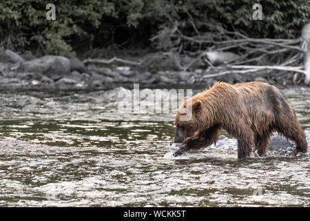 Grizzly Bär im Fluss Nakina auf der Jagd nach Lachsen, Ursus arctos horribilis, Braunbär, Nordamerika, Kanada, - Stockfoto