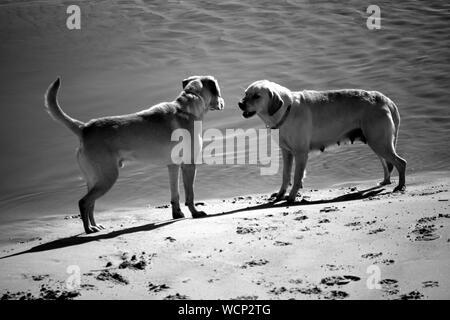 Hunde kämpfen am Strand - Stockfoto