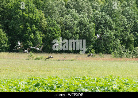 Grus Grus. Kranich Rest am Rande des Waldes. Vögel auf der Wiese. Eurasischen Kran steigende Flug, natürliche Umwelt Hintergrund.