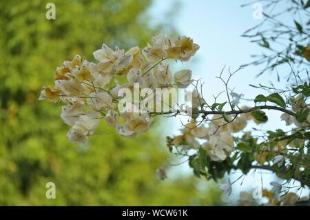 Gelbe Blumen, von der Wand in den Himmel, mit einem Baum unscharf im Hintergrund - Stockfoto