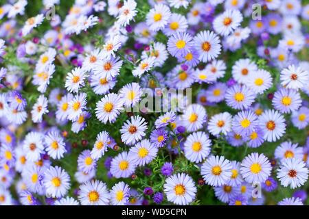 Viele kleine lila Daisy Blumen close up, Violett alpine aster Wildblumen, zart lila floral background, schöne Kamille Muster, Gänseblümchen - Stockfoto