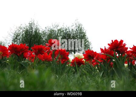 Low Angle View der Weißen und roten Blumen blühen auf dem Feld - Stockfoto