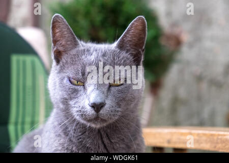 Close-up Portrait von Chartreux Katze - Stockfoto