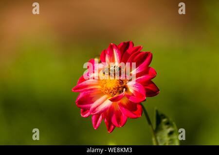 Nahaufnahme der Honigbiene bestäubt Blüten an einem sonnigen Tag - Stockfoto