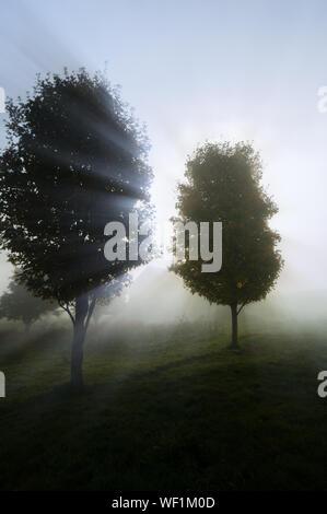 Sonnenlicht streifen durch die nebligen Bäume auf einem Herbstmorgen. - Stockfoto