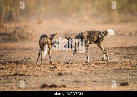 Wilde Hunde kämpfen auf dem Feld - Stockfoto