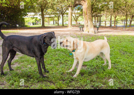 Labrador Retriever und Deutsch Kurzhaar Pointer in einem Tauziehen, United States - Stockfoto