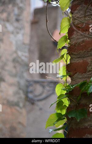 Close-up von Efeu wächst auf Wand Stockfoto