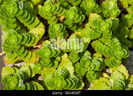 Sedum spurium (Kaukasische Mauerpfeffer). Nahaufnahme. Sedgwick Gärten auf Long Hill Estate, in Beverly, MA - Stockfoto