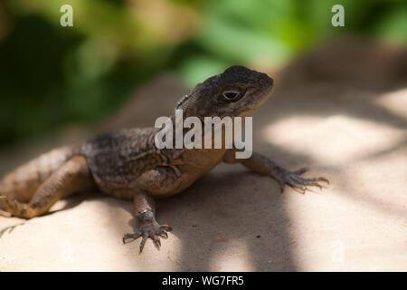 Lizard sitzt auf Felsen