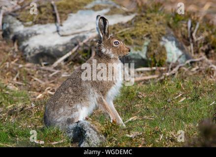 Schneehase (Lepus timidus) im Sommer Im Sommer ist es dunkler Mantel im Peak District in Großbritannien. - Stockfoto